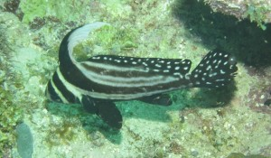 Young Adult Spotted Drum Fish