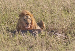 Male Lion feasting on a Wildebeest