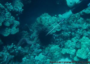 Zebra Eel having lunch