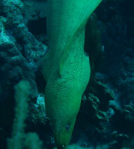 Green Moray Eel, Bonaire