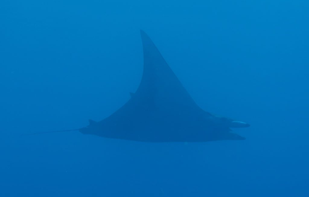 Mobula Ray or Manta Ray?